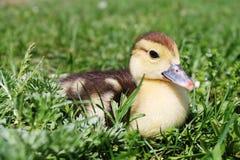 duckling Arkivfoto