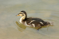 Duckling. A little duckling swimming in the sea stock photography