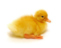 Duckling. Who are represented on a white background Stock Photo