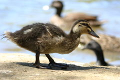 Duckling. Walking on dirt Royalty Free Stock Photo