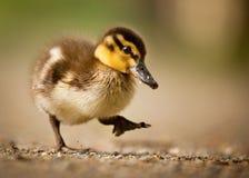 duckling Royaltyfri Bild