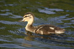 Duckling. In water Stock Images