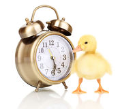 Duckling and alarm clock Stock Photo