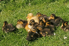 Duckling, Anas platyrhynchos - Mallard Royalty Free Stock Images