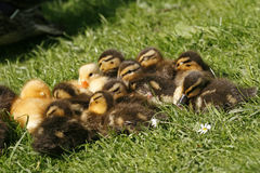 Duckling, Anas platyrhynchos - Mallard. On a meadow in Germany, Europe Royalty Free Stock Image