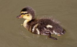 Duckling of Anas platyrhynchos - Mallard in Germany Stock Photos