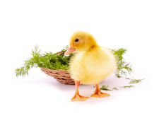 Duckling and basket isolated Royalty Free Stock Photos