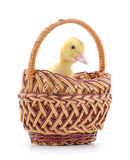 Duckling in basket. Royalty Free Stock Photos