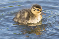 Duckling. A duckling on the Boating Pond at Southampton Common Stock Image