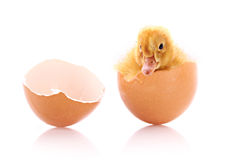 Duckling and broken egg isolated Stock Photography