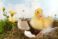 Duckling calling Royalty Free Stock Photos