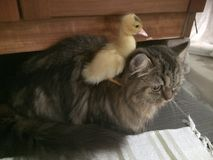 Duckling on cat. Duckling riding on cats back Royalty Free Stock Photography