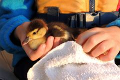 Duckling in childs hand. Child wearing life vest holding duckling in one hand royalty free stock image