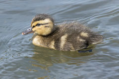 Duckling swimming. A duckling on the Boating Pond at Southampton Common Stock Photography