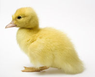 Duckling close up Stock Photos