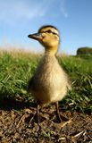 Duckling close up Stock Image