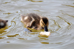 Duckling Stock Photos
