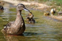 Duckling Stock Photos