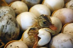 Duckling comes out of the egg in a hatchery, incubator. stock image