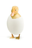 Duckling coming out of a white egg Stock Photography
