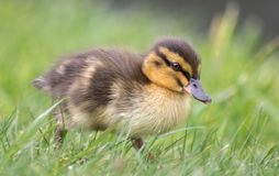 Duckling. Cute duckling from New Zealand Mallards Royalty Free Stock Photography