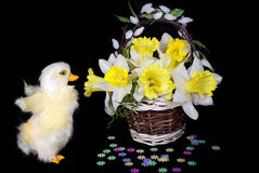 Duckling with daffodils Royalty Free Stock Image