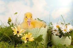 Duckling in daisy garden Stock Image