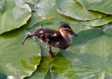 Duckling dancing Stock Photography