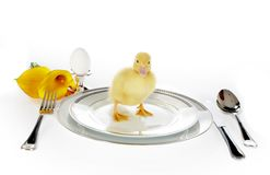 Duckling on dinner plate. 4 days old easter duckling on a breakfast table Stock Photography