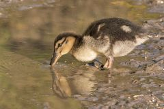 A duckling drinking from  a puddle Stock Image
