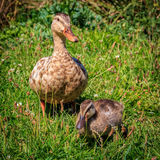 Duckling and duck at the grass Royalty Free Stock Images