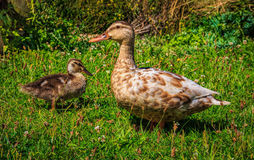 Duckling and duck at the grass Stock Photos