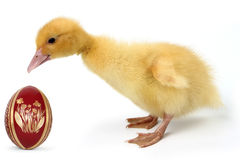 Duckling with Easter egg Stock Photos