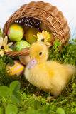 Duckling with easter eggs Royalty Free Stock Photo
