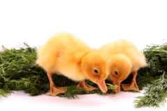 Duckling eating Stock Image
