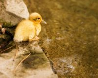 Duckling on the Edge Stock Photos