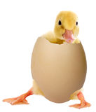 Duckling in an egg. Duckling in a shell isolated on white Stock Photos