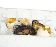 Duckling in egg box Stock Images