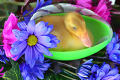Duckling in Egg. A cute live duckling in a plastic egg surrounded by fresh flowers. NOTE: Duckling was not harmed. Holes were drilled into the egg Royalty Free Stock Photo