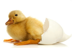 Duckling and egg shell Royalty Free Stock Photo