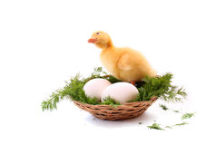 Duckling and eggs Stock Photo