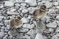 Ducklings eider ducks Stock Photography