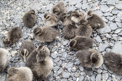 Ducklings eider ducks Stock Photo
