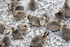 Ducklings eider ducks Royalty Free Stock Photo