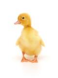 duckling en Arkivfoto