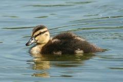duckling en Arkivbilder