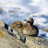 Duckling family Stock Photography