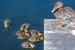 Duckling Family Swimming in Water with Mother. Family group little ducklings swimming Mother Mom Stock Photos