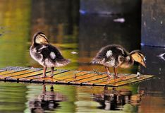 Duckling Feathers all around stock photos