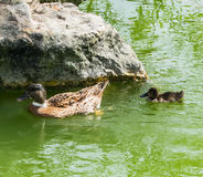 Duckling following mother duck! Royalty Free Stock Photo